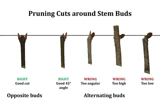 proper pruning angles