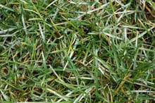 powdery mildew in lawn