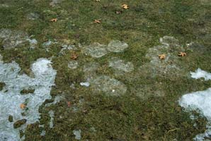 Patches of snow mold on lawn