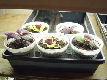 Rooted coleus cuttings