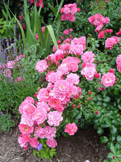 Roses for those that may lack a green thumb greenview fertilizer flower carpet pink roses mightylinksfo