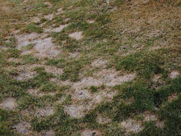 Snow mold damage in lawn