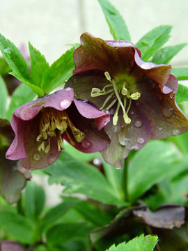 Lenten Rose or Hellebore flowers