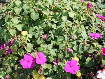 Struggling impatiens