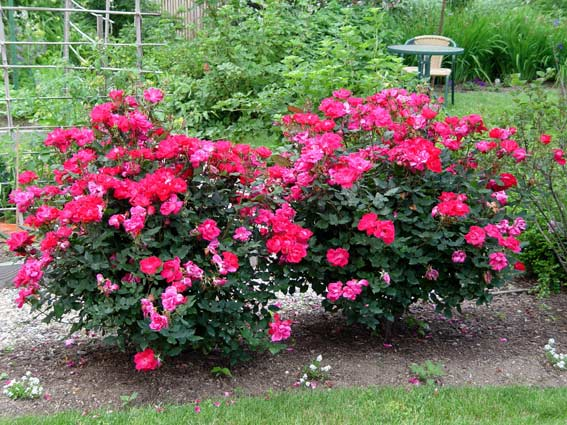 The original cherry-red Knock Out® is the rose that