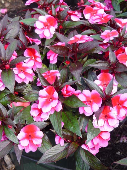 Impatiens Disease The Flower Disaster That Didn T Hen