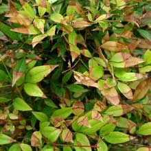 Nandina with windburn