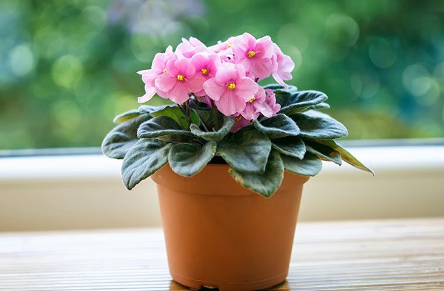 Share Your Love Of African Violets Greenview Fertilizer