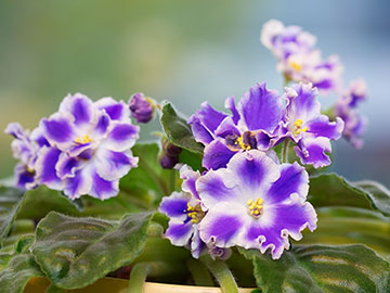 Purple and white African Violets
