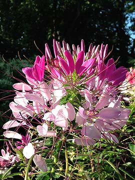 The seeds of the cleome ready to harvest and sow.