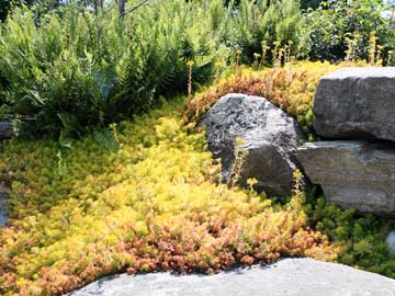 Golden creeping sedum Angelina