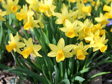 Durable daffodils