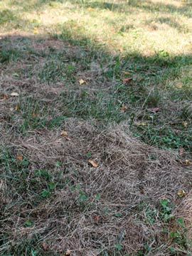 Matted grass clumps