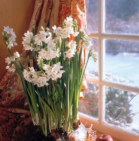 Forcing amaryllis and paper whites indoors greenview fertilizer these paper whites are growing in a glass bowl of marbles mightylinksfo
