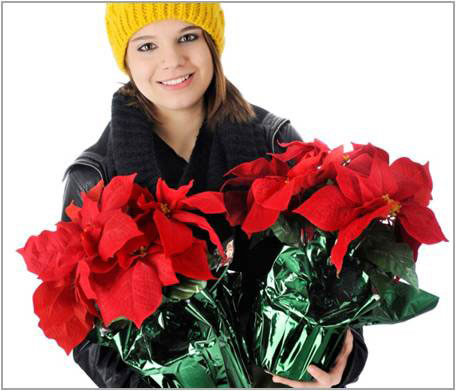 How To Care For Poinsettias After The Holidays Greenview Fertilizer