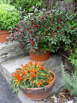 Hot pepper plants in containers