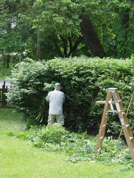 Pruning shrubs.