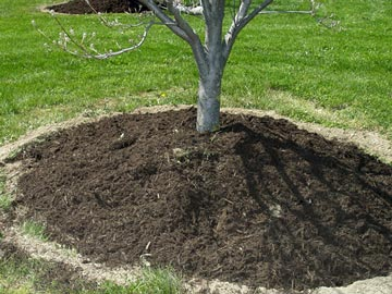 Volcano mulch around a tree