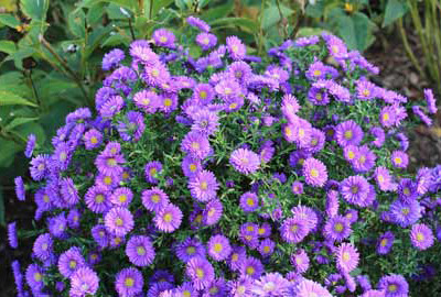 Magic Purple Aster