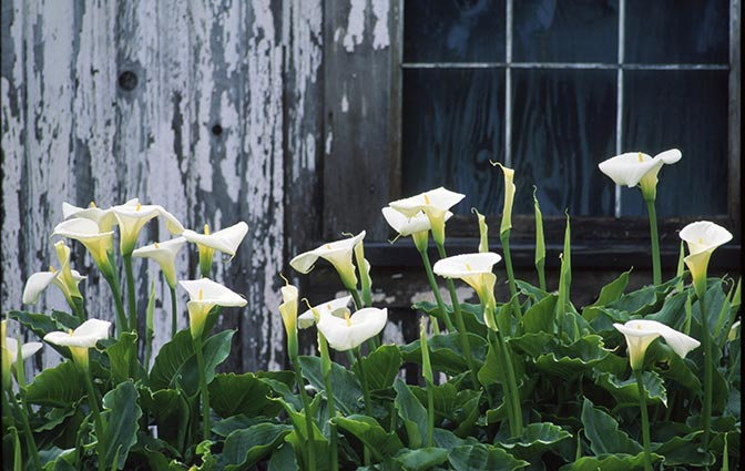 Calla Lilies These Stunning Flowers Will Grow Inside Or Out