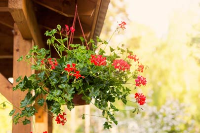 Red pelargonium in hanging basket.