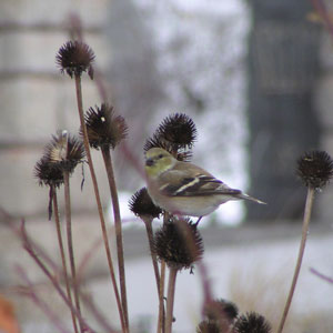 Goldfinch on coneflower in winter