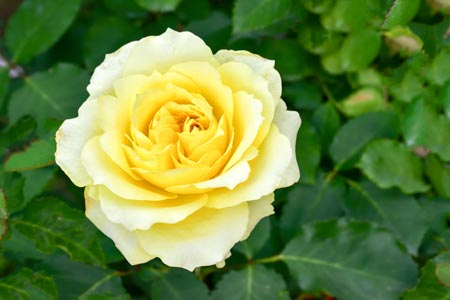 Yellow Knockout® Rose