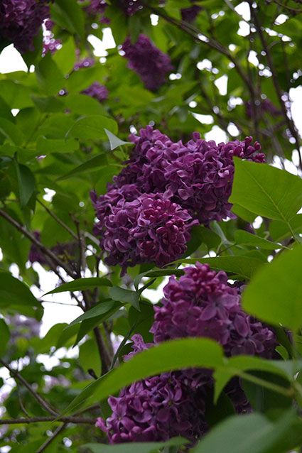 Lilacs A Shrub That Sweetly Scents The Whole Yard