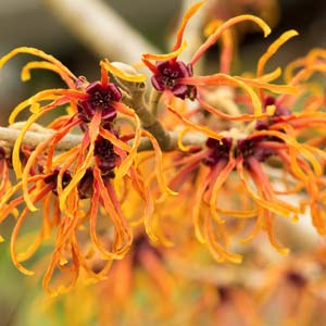 Orange witch hazel in winter