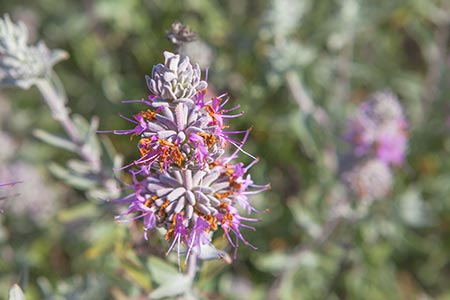 Purple Sage Wildflower