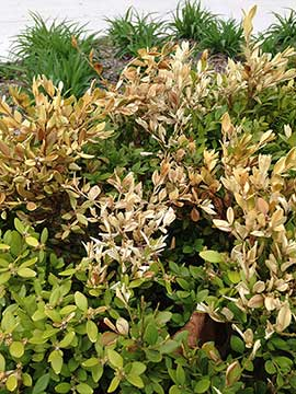 Salt damaged boxwood