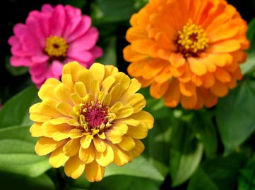 Colorful zinnias