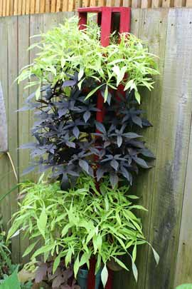 Black and chartreuse leaved sweet potato vines
