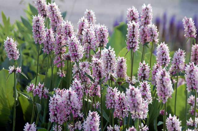 Five new long blooming perennials for your garden greenview fertilizer summer crush from intrinsic perennial gardens flowers on pinkish white spikes mightylinksfo