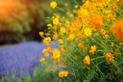 Orange and yellow cosmos
