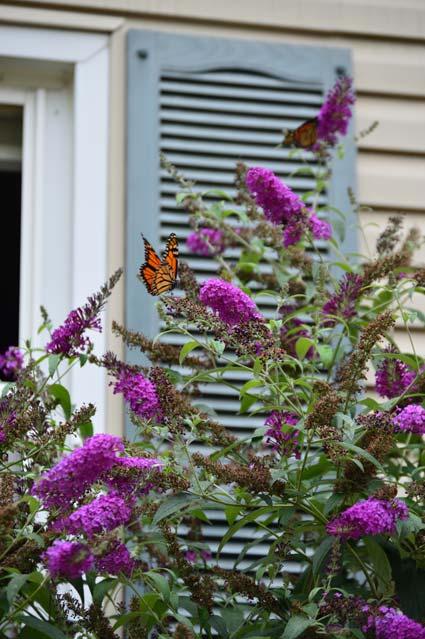 Butterfly Bushes Shorter Amp Non Invasive Varieties