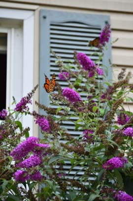 Monarch on a butterfly bush