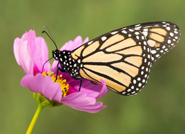 Monarch butterfly on pink cosmos