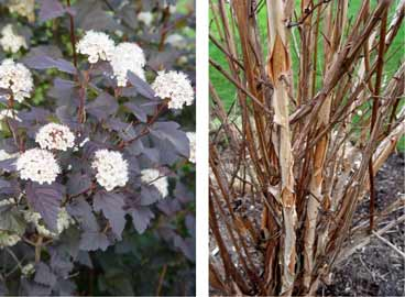 Dark-leaf ninebarks have white flowers and nearly black leaves during the growing season, and peeling bark in fall.