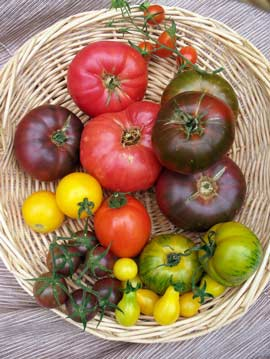 Rainbow of tomatoes