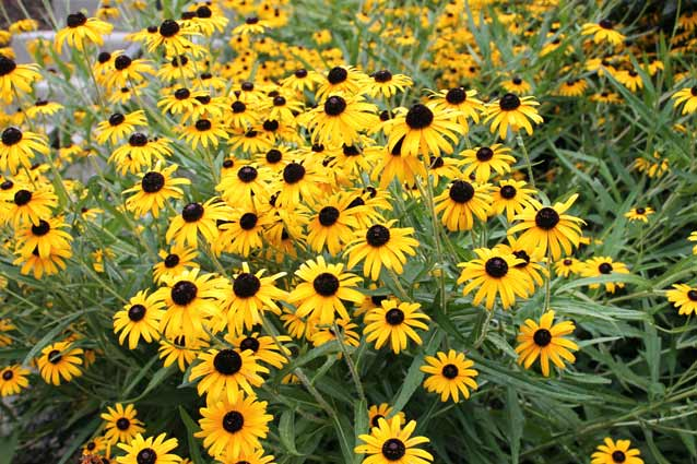 Perennials Black Eyed Susan