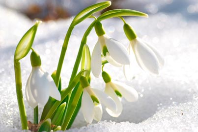 Snowdrops blooming in snow