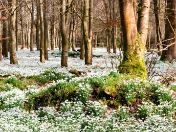 Snowdrops carpet a large patch of forest.