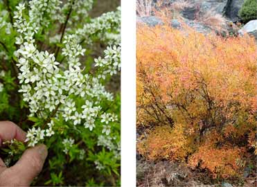 "Spirea ""Ogon"" produces white flowers in early spring, then the foliage turns coppery in late fall."