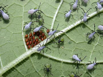 Squash bug eggs and nymphs