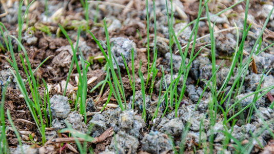 This dead patch has been repaired with an all-in-one combination of  grass seed, starter fertilizer and paper mulch.