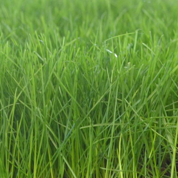 Kentucky bluegrass growout