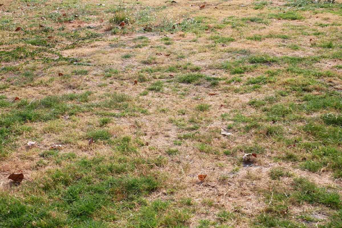 Patchy brown grass