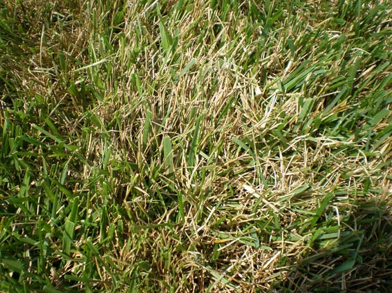 Brown Patch Is Your Lawn Looking A Little Ragged