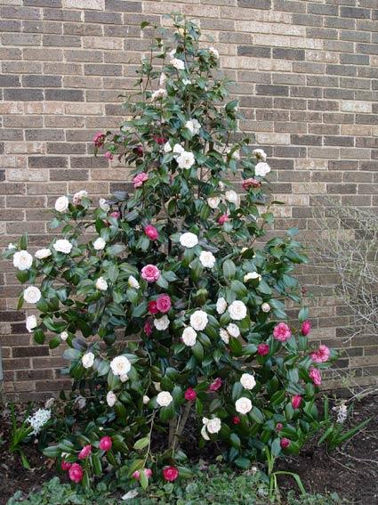 Camellia April